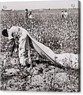 African American Day Laborer Picking Acrylic Print by Everett