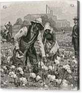 African Americans Pick Cotton Acrylic Print by Everett