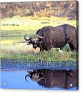 African Cape Buffalo, Photographed At Acrylic Print by John Pitcher