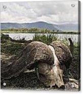 African Cape Buffalo Skull, Ngorongoro Acrylic Print