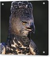 African Crowned Eagle Acrylic Print