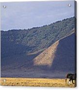 African Elephant In Ngorongoro Crater Acrylic Print