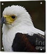 African Fish Eagle 1 Acrylic Print