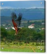 African Fish Eagle Flying Acrylic Print by Anna Om