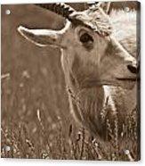 African Grassland Feeder 2 Acrylic Print
