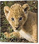 African Lion Panthera Leo Five Week Old Acrylic Print