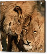 African Lion Panthera Leo Two Males, Mt Acrylic Print