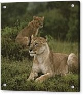 African Lionesses In Masai Mara Acrylic Print