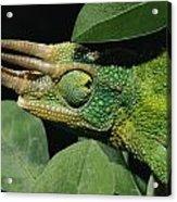 African Male Jacksons Chameleon Acrylic Print