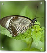 African Papilio Dardanus Butterfly Acrylic Print