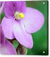 African Violet Flower Acrylic Print
