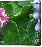 African Violets Intertwined I Acrylic Print