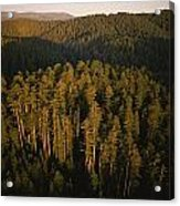 Afternoon Sunlight Bathes Redwood Trees Acrylic Print