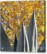 Agave Spikes In Autumn Acrylic Print
