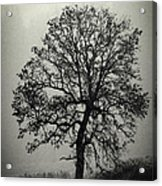 Age Old Tree Acrylic Print