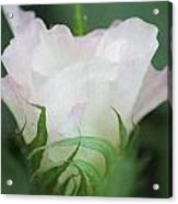 Agriculture - Cotton Bloom Acrylic Print