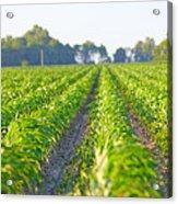 Agriculture- Corn 1 Acrylic Print
