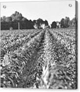 Agriculture- Corn 2 Acrylic Print