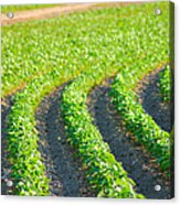 Agriculture- Soybeans 3 Acrylic Print
