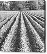 Agriculture-soybeans 6 Acrylic Print