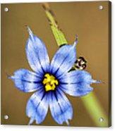 Alabama Blue-eyed Grass Wildflower - Sisyrinchium Angustifolium Acrylic Print