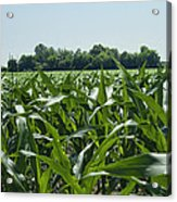 Alabama Field Corn Crop Acrylic Print