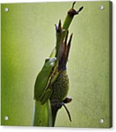 Alabama Green Tree Frog - Hyla Cinerea Acrylic Print