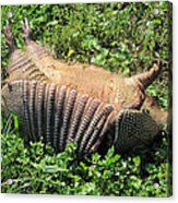 Alabama Road Kill Acrylic Print