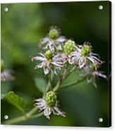 Alabama Wild Blackberries In The Making Acrylic Print
