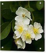 Alabama Wildflower Roses - Rosa Multiflora Acrylic Print