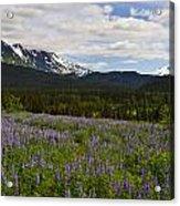 Alaska Lupine Acrylic Print