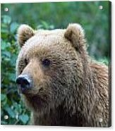 Alaskan Brown Bear Acrylic Print