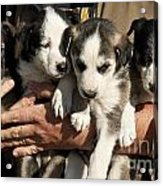 Alaskan Huskey Puppies Acrylic Print