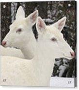 Albino White Tailed Deers Acrylic Print