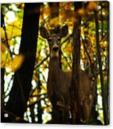 Alert Doe Acrylic Print by Scott Hovind