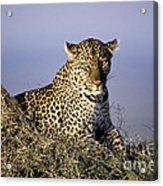 Alert Female Leopard Acrylic Print