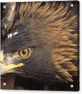 Alert Golden Eagle Acrylic Print