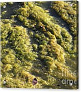 Algae Bloom In A Pond Acrylic Print