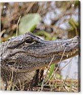 Alligator 1 Acrylic Print