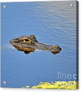 Alligator Afloat Acrylic Print