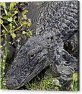Alligator Alley Friend  Acrylic Print
