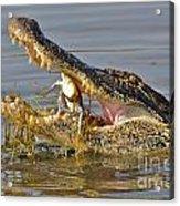 Alligator Get Lunch Acrylic Print