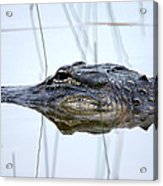 Alligator In The Everglades Acrylic Print