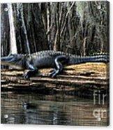 Alligator Sunning Acrylic Print