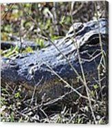 Alligator Two Acrylic Print