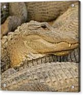 Alligators Acrylic Print