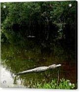 Alligators In The Evergaldes Acrylic Print