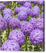 Allium Flower At The Boston Common Acrylic Print