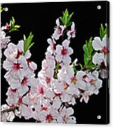Almond Blossom 0979 Acrylic Print