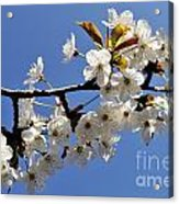 Almond Tree In Flower At Spring Acrylic Print